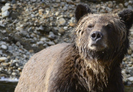 The Do's and Don'ts of Stalking Grizzly Bears