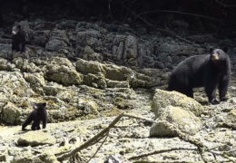 Baby Bears Learning to Forage