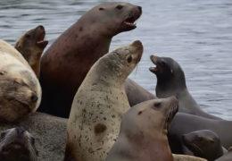 Lost California Sea Lion